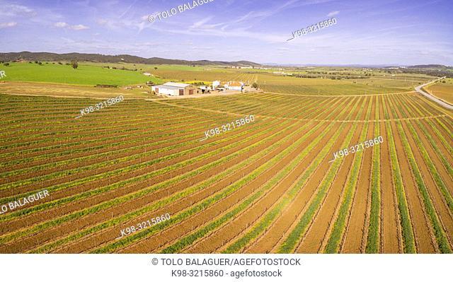 campo de vides para vino, Reguengos de Monsaraz , Distrito de Évora, Alentejo, Portugal