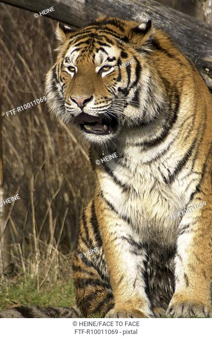 Spitting tiger