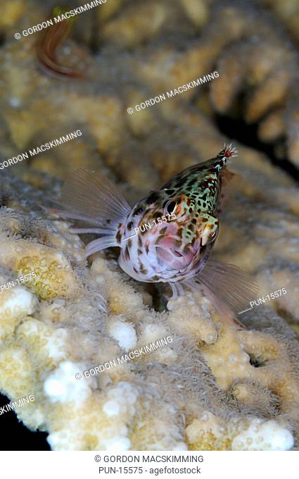 In common with other hawkfish species pixy hawkfish Cirrhitichthys oxycephalus are relatively active and will flit from vantage point to vantage point within a...