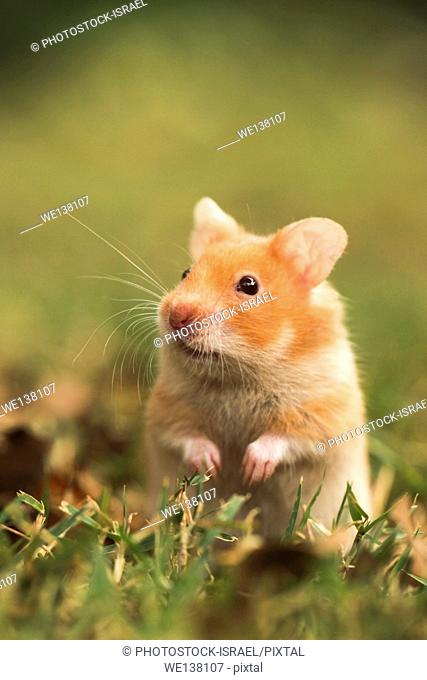Pet golden hamster or Syrian hamster, Mesocricetus auratus on the lawn. Photographed in captivity