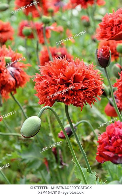 Opium poppy Papaver somniferum