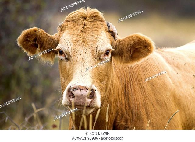 Red Angus cross cow, Barrie Island, Ontario