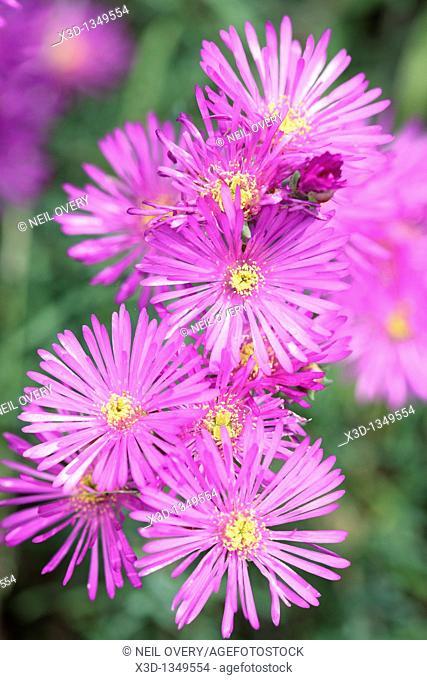 Showy Vygie Flowers, Lampranthus amoenus