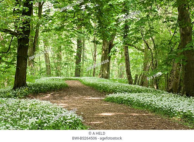 blooming ramson at a forest path, Germany, Hesse, NSG Kuehkopf-Knoblochsaue