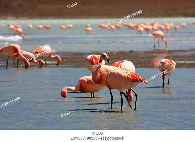 Flamingos on lake, the southern part of Bolivia