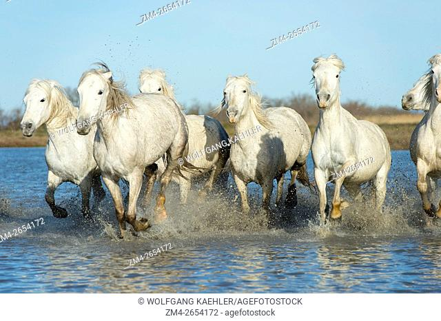 Camargue horses are running through the water of a marsh in the Camargue in southern France