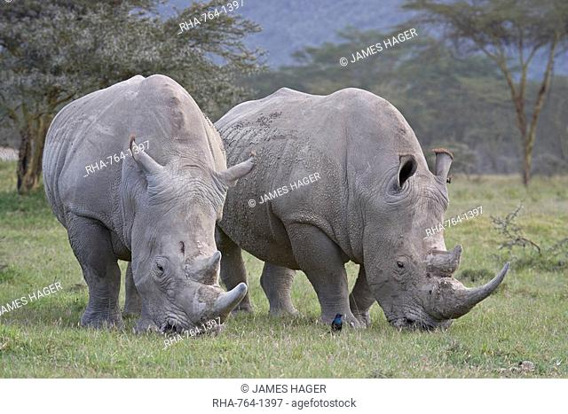Two white rhinoceros Ceratotherium simum feeding, Lake Nakuru National Park, Kenya, East Africa, Africa
