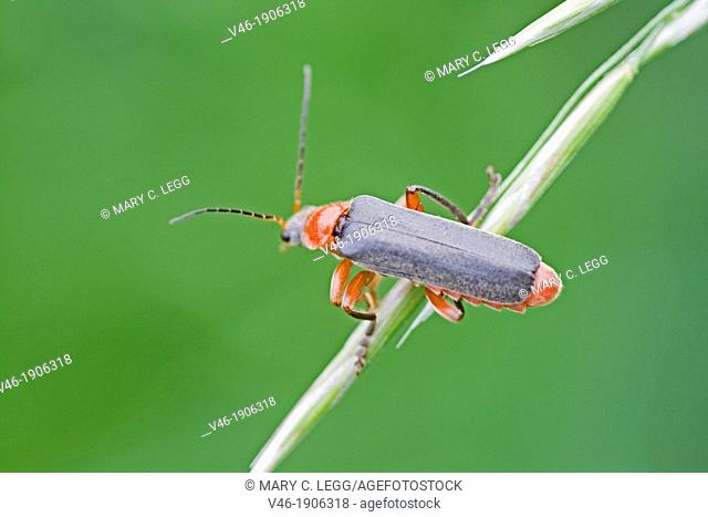Cantharis lateralis, Soldier Beetle  Soldier beetle with red absomen and bi-colored legs red and black  Bio-control agents for grasshopper eggs