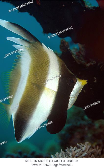 Pennant Bannerfish (Heniochus chrysostomus), Sebayor Point dive site, between Komodo and Flores Islands, Komodo National Park, Indonesia