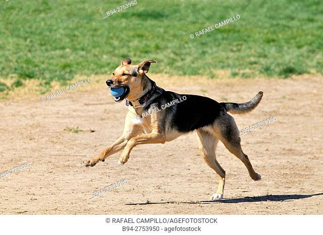 German Shepherd dog with blue ball