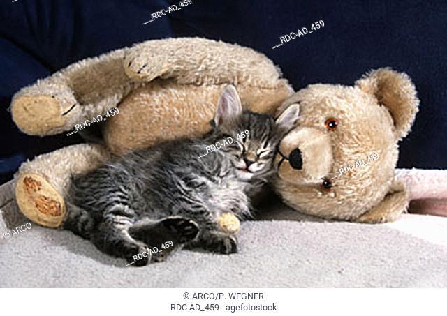Norwegian Forest Cat kitten 7 weeks black-tabby-mackerel with teddybear