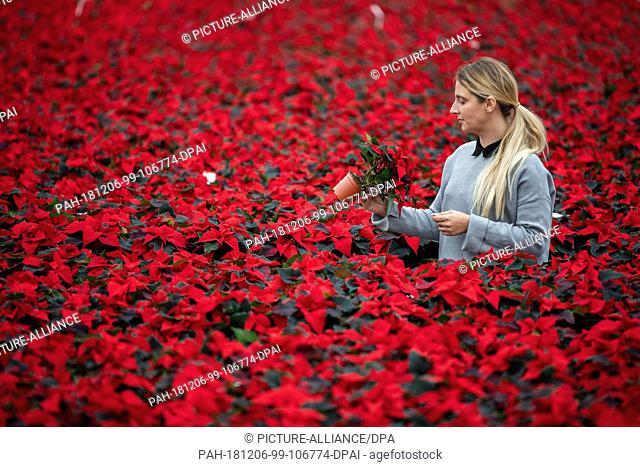 28 November 2018, Lower Saxony, Wiesmoor: Annemarie Gartemann stands in the greenhouse between tables with red poinsettias (lat