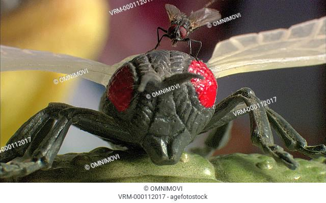 Common Housefly crawling over plastic model of fly