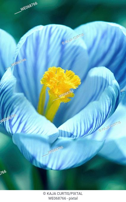 Flower, Crocus