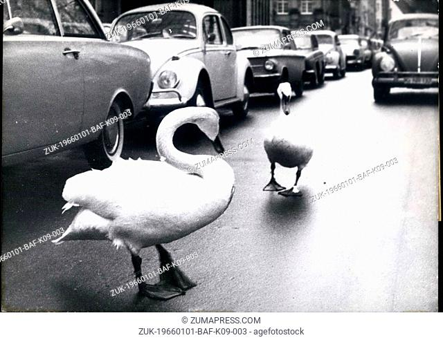 Jan. 01, 1966 - Their special liking for cars these both swans have discovered some time ago. One day they went astry during their usual walk and suddenly they...