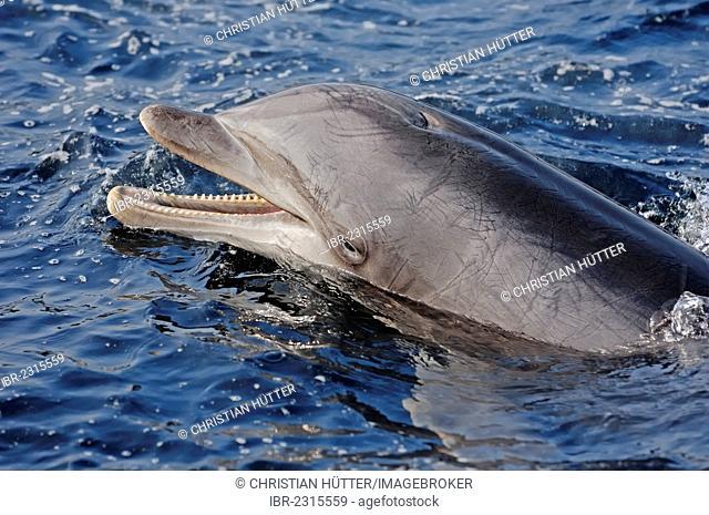 Common bottlenose dolphin (Tursiops truncatus), England, United Kingdom, Europe