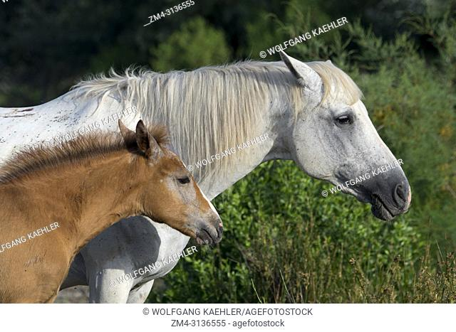 A Camargue horse mare with a foal in the Camargue in southern France