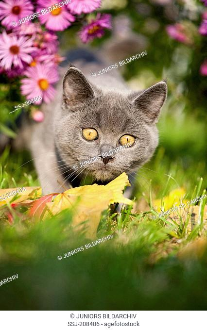 Chartreux cat. Kitten stalking in autumnal garden. Germany