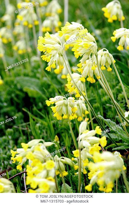 Cowslip flowers Primula veris, France