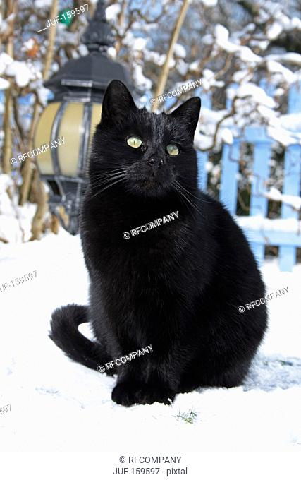 black domestic cat - sitting in the snow