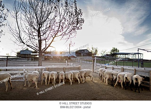 Sheep feeding in pen on farm