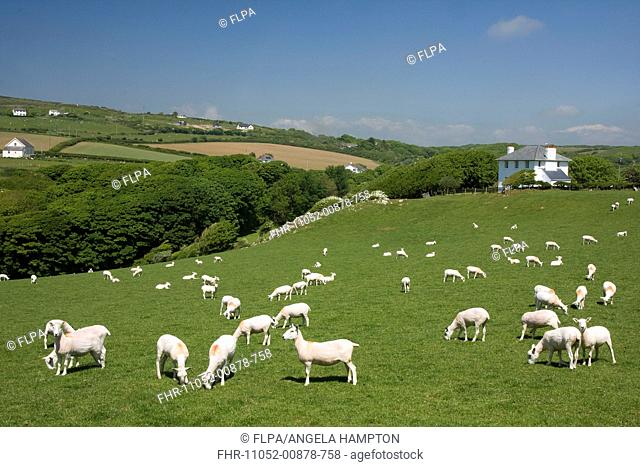 Domestic Sheep, flock, grazing on hillside pasture, Pitton, near Mewslade Bay, Gower Peninsula, Glamorgan, Wales, june