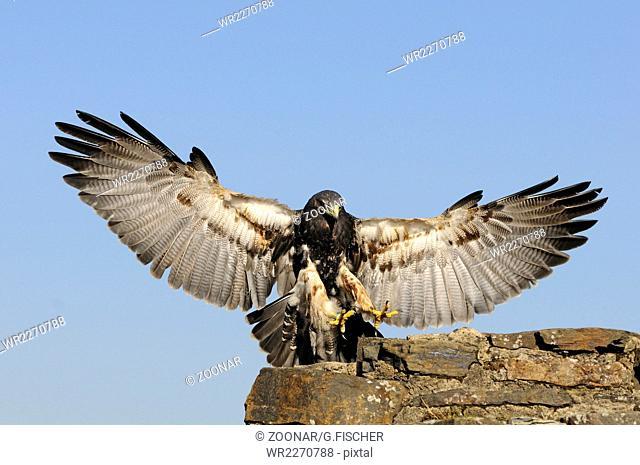 Kordilleren-Adler im Landeanflug