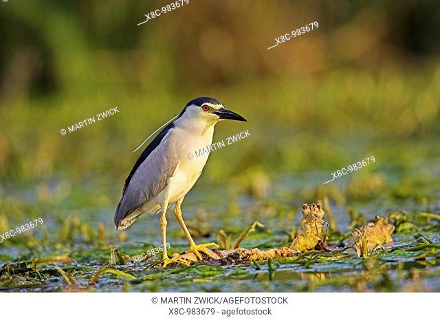 Black-crowned Night Heron Nycticorax nycticorax in the Danube Delta, a UNESCO world heritage and Ramsar site  Night herons waiting motionless on or near the...
