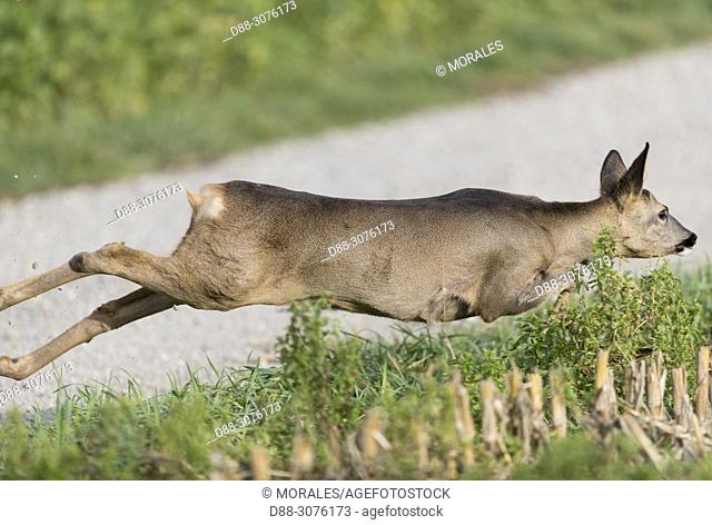France, Bas Rhin (67), small game hunting, European roe deer (Capreolus capreolus), a roe deer female crosses the row of hunters