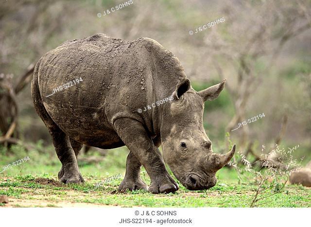 White Rhinoceros, Square-Lipped Rhinoceros, (Ceratotherium simum), adult walking searching for food, Hluhluwe Umfolozi Nationalpark