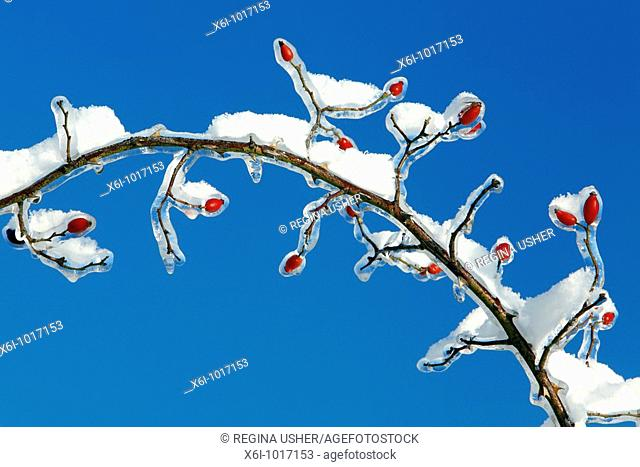 snow and Ice covered wild rose branch with Rose Hips, in winter, Germany