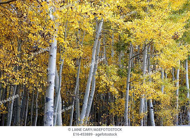 Autumn aspens, California. USA