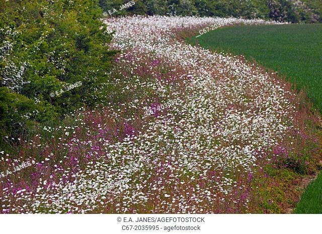 Red Campion Silene dioica and Oxeye Daises on field margin Norfolk UK June