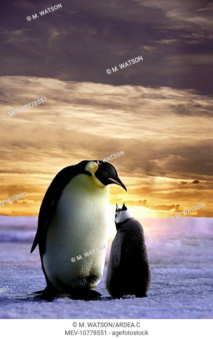 Emperor Penguin - adult with chick begging. (Aptenodytes forsteri)