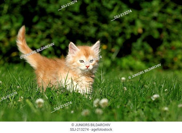American Longhair, Maine Coon. Kitten (6 weeks old) walking on a meadow. Germany