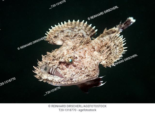 Short-spined Anglerfish, Lophius budegassa, Cap de Creus, Costa Brava, Spain