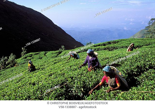Dambatenne tea plantation was founded by Sir Thomas Lipton in 1890, Sri Lanka
