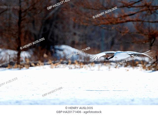 Japanese crane, Red-crowned crane (Grus japonensis) flying, Japan