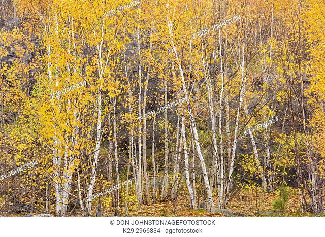 Autumn birch trees, Greater Sudbury, Ontario, Canada
