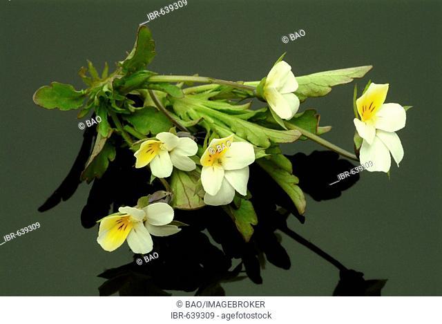 Heartsease or Wild Pansy (Viola tricolor), medicinal plant