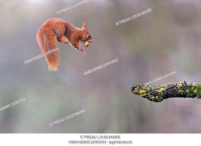 France, Maine et Loire, Squirrel (Sciurus vulgaris) skip