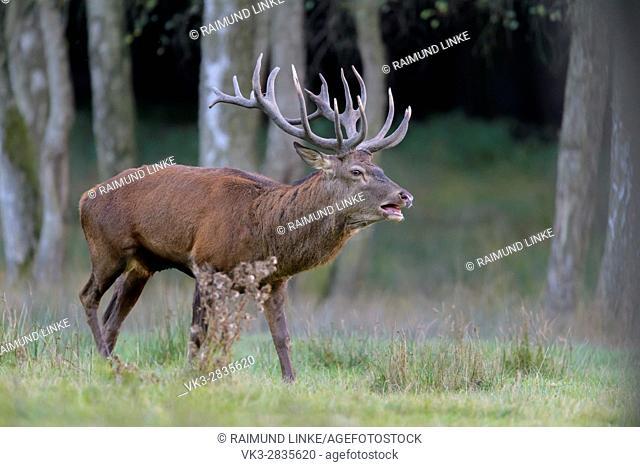 Red Deer, Cervus elaphus, Rutting Season, Roaring, Germany, Europe