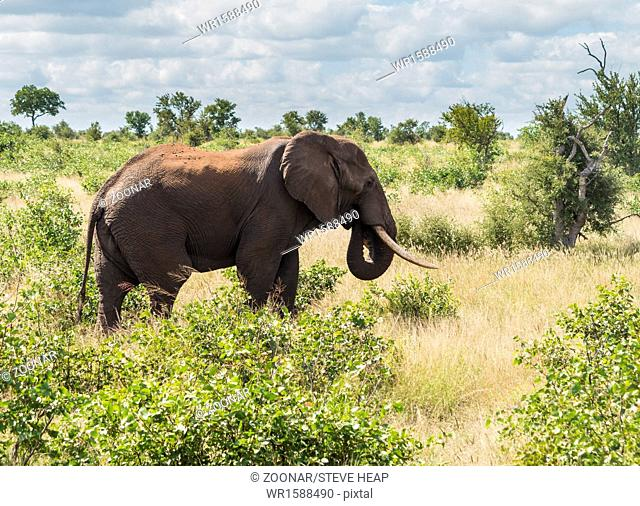 Single elephant in Kruger National park