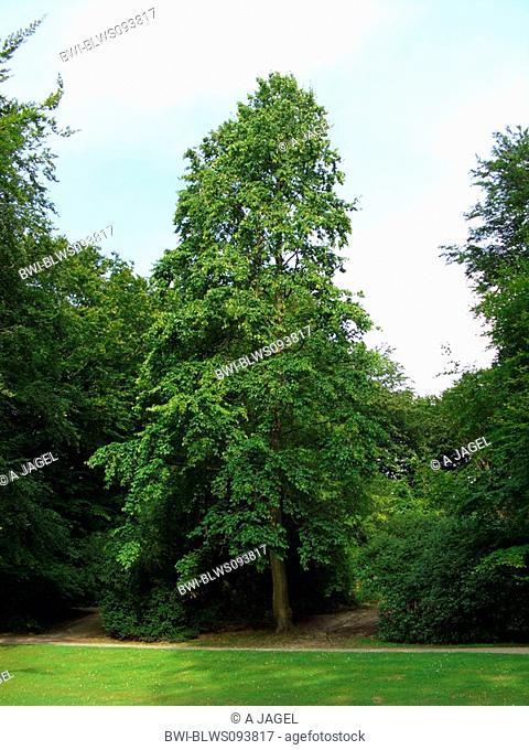 turkish hazel Corylus colurna, single tree in a park