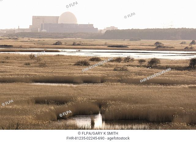 View over coastal reedbed habitat, Sizewell B nuclear power station in distance, Minsmere RSPB Reserve, Suffolk, England, winter