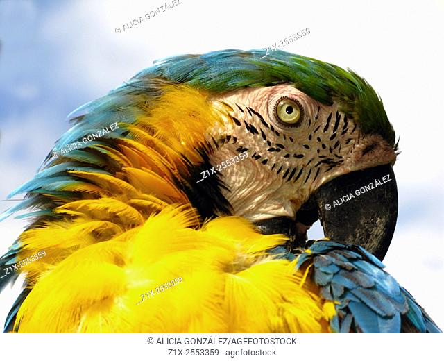 Close up Ara ararauna. Macaw. Caracas Venezuela