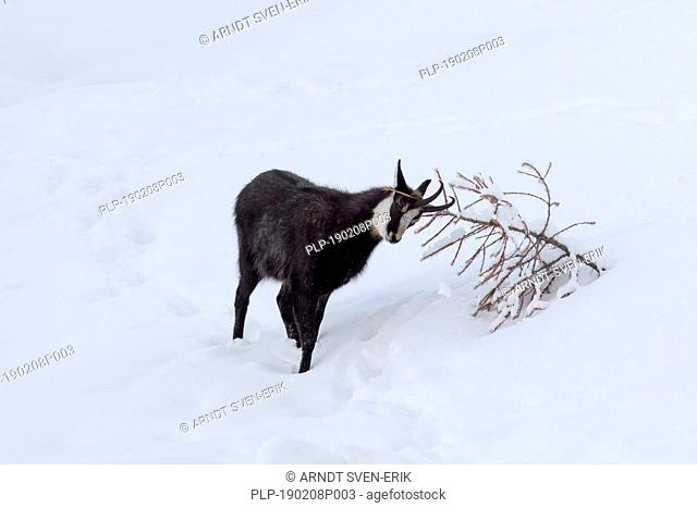 Chamois (Rupicapra rupicapra) male with back hairs raised rubbing antlers against pine tree in the snow in winter during the rut in the European Alps