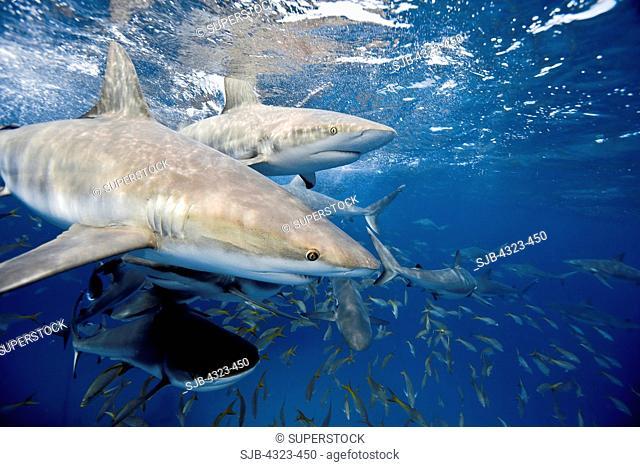 Feeding Frenzy Involving Caribbean Reef Sharks