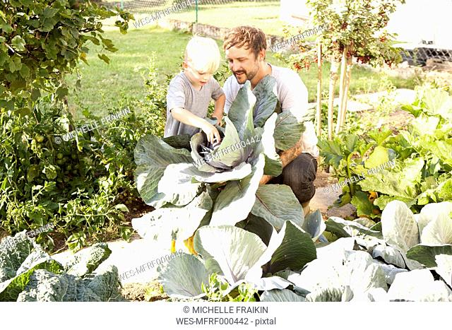 Father and his little son harvesting red cabbage
