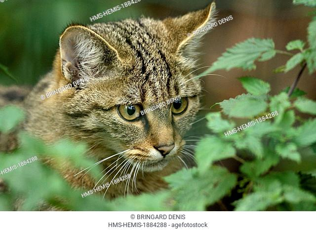 France, Moselle, Rhodes, animal park of Sainte Croix, pens, Wildcat (Felis silvestris)